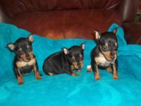 Nice litter of AKC registered Miniature Pinschers. DOB: