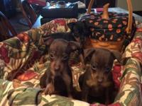 AKC min pin puppies....females......black/tan and