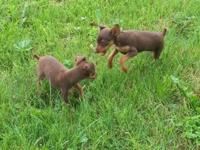 I have 2 female Min Pin puppies both are Chocolate and