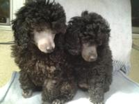 Stunning AKC Poodle Pups, black lady, silver male,