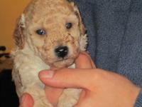 AKC Miniature Poodle Puppies for sale. 5 weeks old.
