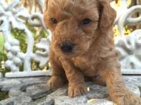 Mini Poodle Puppies, A.K.C., born 9-28-2014, 4 females,