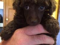 Taking deposits for AKC miniature poodle puppies, 5