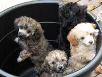 AKC miniature poodles, shots, wormed and vet checked.