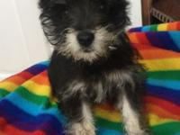 I have a 10 week old black and silver female schnauzer
