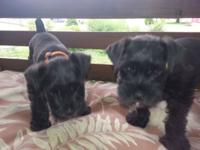 2 black female miniature schnauzer puppies. 7 weeks