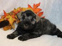 Animal Type: Dogs Breed: Miniature Schnauzer AKC