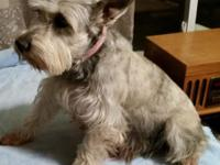 "Salt and pepper female 9yr old named ""Abby"" She is a"