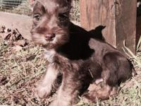 8 week old AKC liver/tan male miniature schnauzer. This