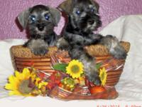 2 gorgeous Miniature Schnauzer puppies (male and