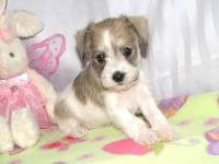 This beautiful puppy is AKC and will be available for a