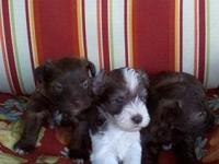 3 AKC REGISTERED MALE MINIATURE SCHNAUZERS. BORN IN MAY