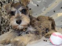 We have 3 salt and pepper AKC Miniature Schnauzers for