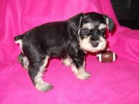 I have 8 puppys Black and silver PHANTOM born on