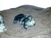 I have six AKC Miniature Schnauzers for sale. 4 males