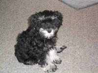 I have litter of Miniature Schnauzers for sale there