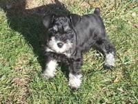 AKC Miniature Schnauzer puppies for sale. The first