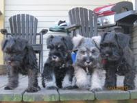 akc miniature schnauzer puppies. 8 weeks old as of
