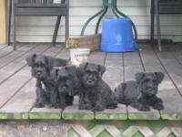 AKC Miniature Schnauzer young puppies. dew claws
