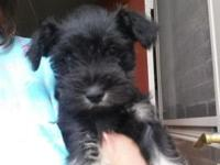 AKC Miniature Schnauzer Puppies looking for their