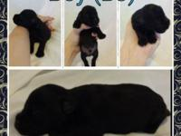 There are 5 male Miniature Schnauzer puppies. I am
