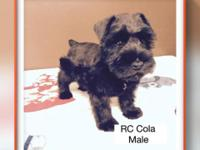 Mini schnauzer puppies: they will be ready to go