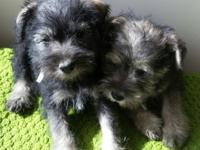 AKC miniature schnauzer puppies, Nonshed,