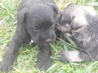 akc miniature schnauzer puppies ready in two weeks.