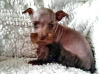 I have a lovely litter of rare liver AKC Miniature