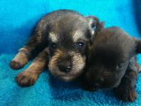 I have 5 lovely AKC Miniature Schnauzer babies that