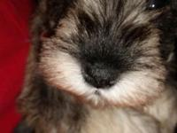 Caring 6 week old mini schnauzer male young puppy. To a
