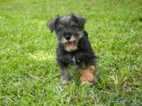 10 week old AKC Miniature Schnauzer male pup. salt and
