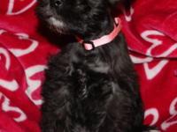 AKC Miniature Schnauzer dogs, 8 wks old, shots, wormed