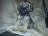 I have two male miniature schnauzers one black one salt