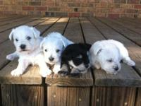 We have 2 litters of AKC schnauzers. We have both males