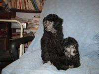 AKC Silver Poodle Puppies(silvers are born black & turn