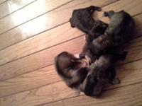 I have a litter of Miniature Schnauzer puppy Born