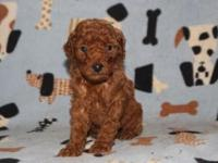 We have a litter of red-apricot AKC moyen poodles (