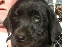 Lovely AKC Registered Black Labs from National