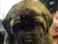 We have a litter of AKC Neapolitan Mastiffs puppies