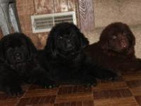 Very nice AKC newfoundland puppies ! We have a big boy