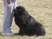 AKC Registered Newfoundlands We have two new litters of
