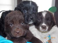 Newfoundland Puppies that are AKC and will come with
