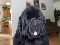 AKC NEWFOUNDLAND PUPPY AVAILABLE APRIL 9TH, 1ST