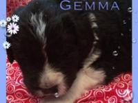 Currently have 5 AKC newfoundland pups available. We