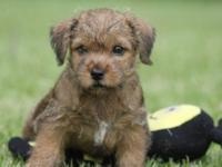 AKC Norfolk Terrier red, completely beautiful