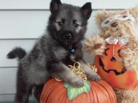 AKC Norwegian Elkhound puppies. 3 males and 2 females.
