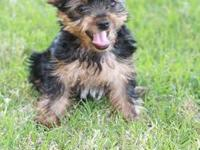 AKC Norwich Terrier puppies. All my puppies are Raised