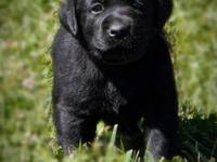 Pure Joy Labradors is excited to announce the arrival