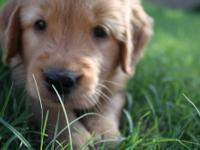 Now Accepting Deposits!!! Gorgeous Golden Retriever